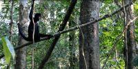 Volontariato ambientale in Perù: un altro gruppo di scimmie ragno reintrodotte con successo