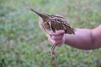 I volontari in Perù hanno fatto una scoperta rivoluzionaria: una nuova specie di uccelli