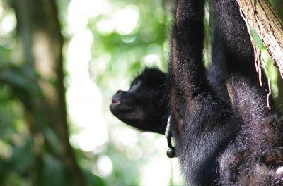 Una giovane scimmia ragno peruviana con collare radio dondola tra i rami dopo essere stata liberata dai volontari nella Riserva Ecologica Taricaya in Perù