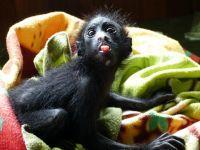 Grandi progressi e riconoscimenti per il progetto per la riabilitazione delle scimmie ragno in Perù