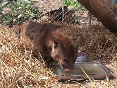 Mufasa, the mountain lion rescued from a lifetime of mistreatment at a Peruvian circus, can be seen enjoying his new home at Taricaya Ecological Reserve, Peru