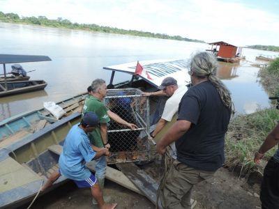 Lo staff di Projects Abroad e di Animal Defenders International lavorano insieme nel trasportare un Orso dagli Occhiali verso  sua nuova casa nella Riserva ecologica si Taricaya, nella Jungla Peruviana.