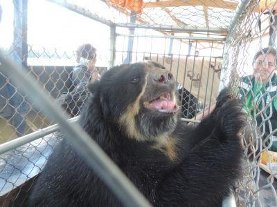 Un Orso durante l'operazione di salvataggio degli animali di uno zoo informale di Sandia in Perù,condotta da Projects Abroad e Animal Defenders International