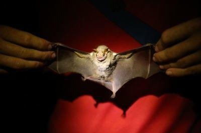 Le ali e il corpo di un Centurio Senex, meglio conosciuto come pipistrello dalla faccia rugosa, catturato a Barra Honda durante l'indagine annuale Mesoamericana