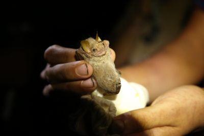 Il Centurio Senex, meglio conosciuto come pipistrello dalla faccia rugosa, è stato catturato nella zona di Barra Honda anche se considerato una specie rara per quella zona