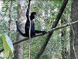 ホエザル 自然界へ還る in ペルー