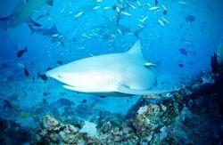 Sharks endangered Fiji
