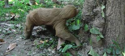 ペルー環境保護プロジェクト タリカヤ自然保護区で自然に返るナマケモノ
