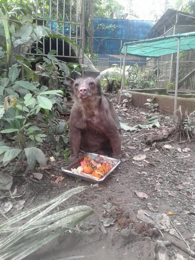 ペルーで環境保護活動 タリカヤ自然保護区で食事をするメガネグマのCholita
