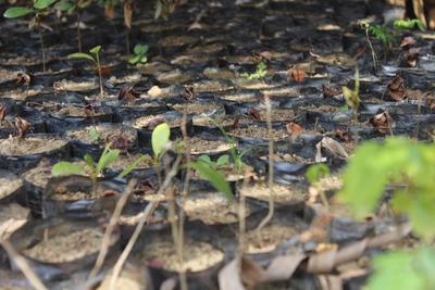 マダガスカルを襲ったサイクロン「Enawo」の被災地支援として植えられた苗木