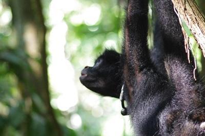 Een jonge slingeraap met een radiohalsband slingert van tak tot tak na zijn vrijlating in het wild door vrijwilligers bij het Projects Abroad natuurbehoud project in het Taricaya Ecologisch Reservaat, Peru