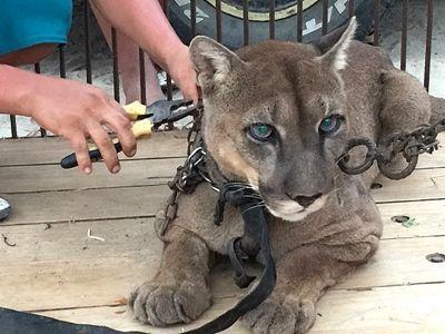 Animal Defenders International bevrijdde Mufasa de poema van zijn leven vol misbruik bij een circus in Peru, en zal opgevangen worden door Projects Abroad op het Taricaya Ecologisch Reservaat