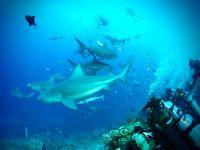 Projects Abroad neemt de leiding in haaienbescherming Fiji