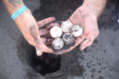 Een vrijwilliger verzamelt eieren van beschermde zeeschildpadden in Mexico.