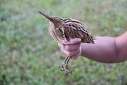 Volontärer upptäcker ny fågelart, den strimryggiga dvärgrördromen, vid Tariyacas Eko-Reservat  i Amazonas regnskog i Peru
