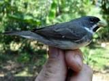 Doble-collared Seedeater