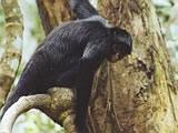 White-bellied Spider Monkey