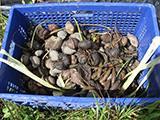 Mangroove Seeds