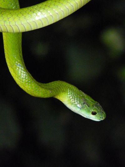 Emerald Palm Snake
