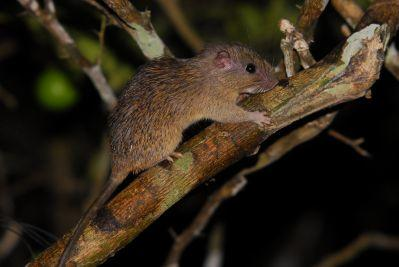 Spiny Tree Rat