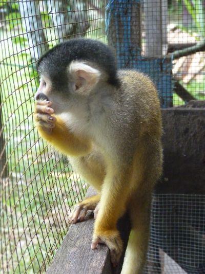 Squirrel Monkey's Last Day in Captivity