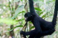 New spider monkey baby in Taricaya