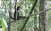 Spider monkeys successfully released into the wild in Peru