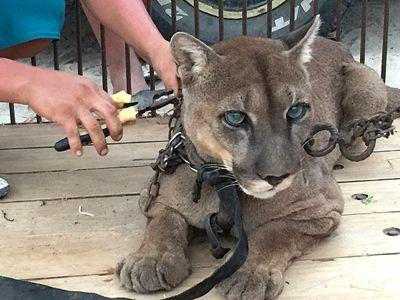 Animal Defenders International rescued Mufasa the mountain lion from a life of abuse at a circus in Peru, he will be rehomed with Projects Abroad at Taricaya Ecological Reserve