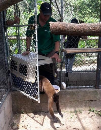 One of three rescued brown woolly monkeys is introduced to its new home at Taricaya Ecological Reserve, Peru