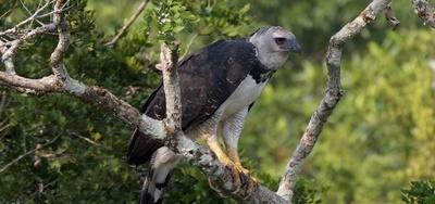The harpy eagle seen in a tree at Taricaya Ecological Reserve