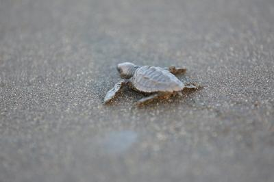 A recently hatched sea turtle begins its journey toward the sea