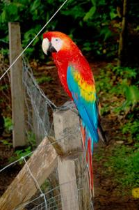Released Scarlet Macaw