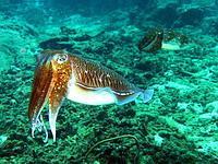 Pharoah Cuttlefish.jpg