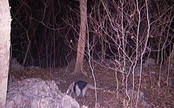 Northern Tamandua by sensor camera