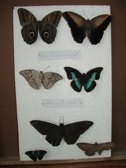 Mounted Butterfly