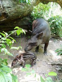 Baby Tapir Born at Peru Conservation Project
