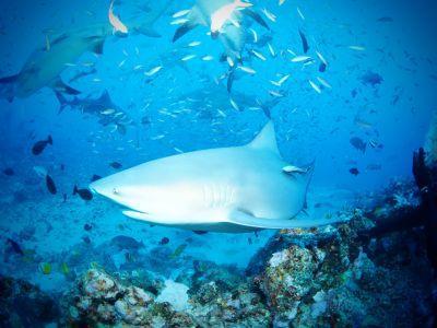 An apex predator swims the waters of Fiji