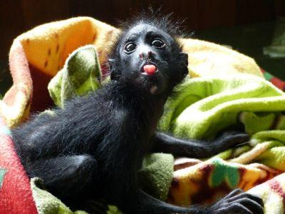 A baby spider monkey is raised before being released into the wild at Projects Abroad Conservation Project in Taricaya Ecological Reserve, Peru.