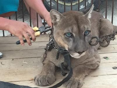 Animal Defenders International rescued Mufasa the mountain lion from a life of abuse at a circus in Peru; he will be rehomed with Projects Abroad at Taricaya Ecological Reserve
