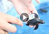 Bilan de l'été 2018 et agir pour les bébés tortues au Mexique