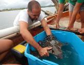 Ein Freiwilliger von Projekts Abroad arbeitet im Haiprojekt auf den Fidschi - Inseln
