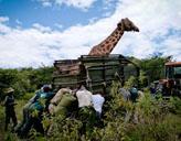 Giraffenrettung