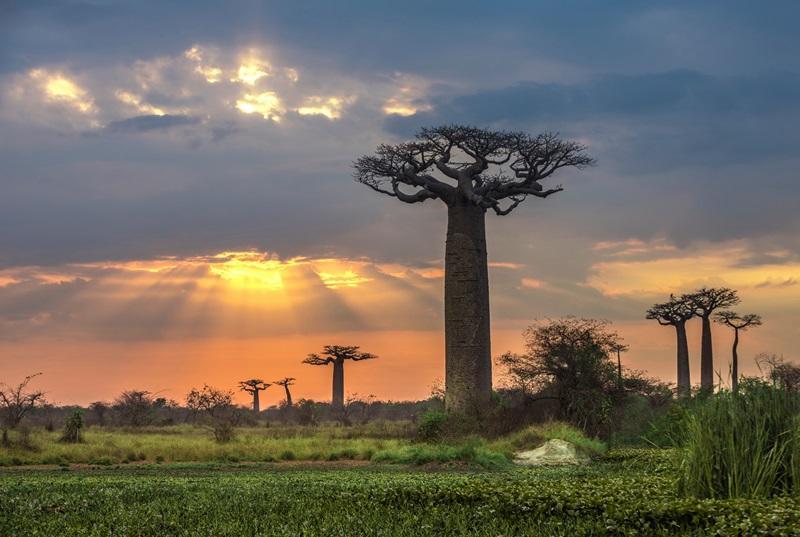 Baobas Bäume auf Madagaskar