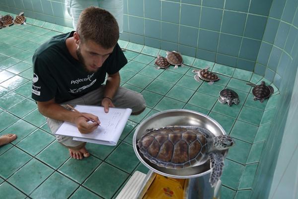 Freiwilliger wiegt eine Schildkröte im Naturschutz - Projekt