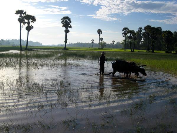 Traditionelt landbrug i Cambodja