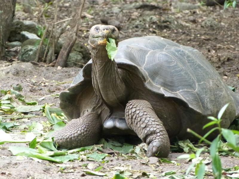 Havskildpadde på Galapagos