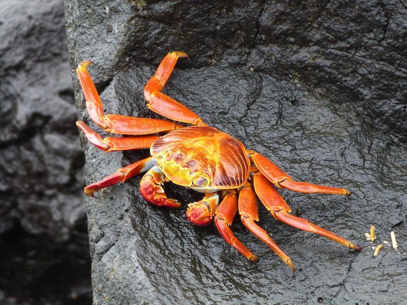 Krabbe på Klipperne