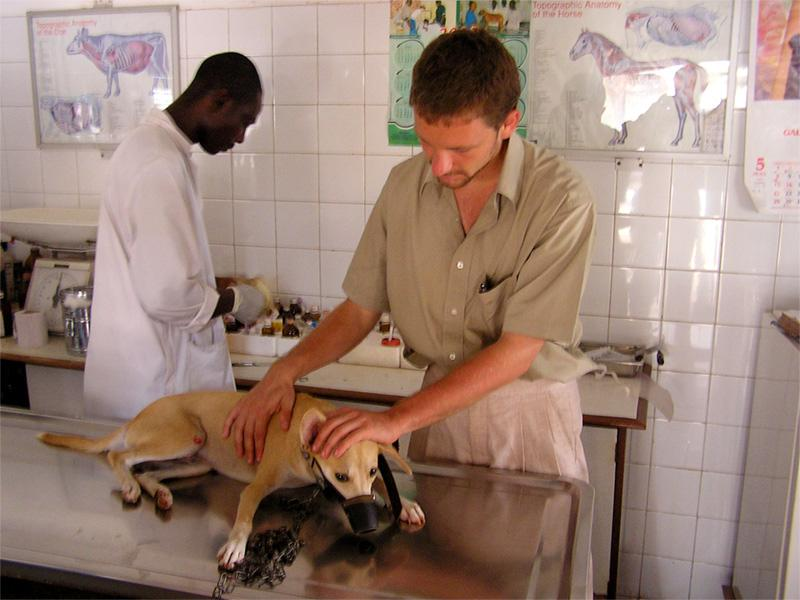 Dyrlægepraktikant på arbejde i Ghana