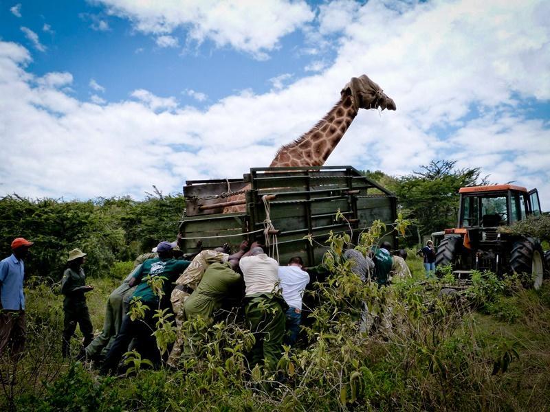 Beskyttelse Rotschild Giraf