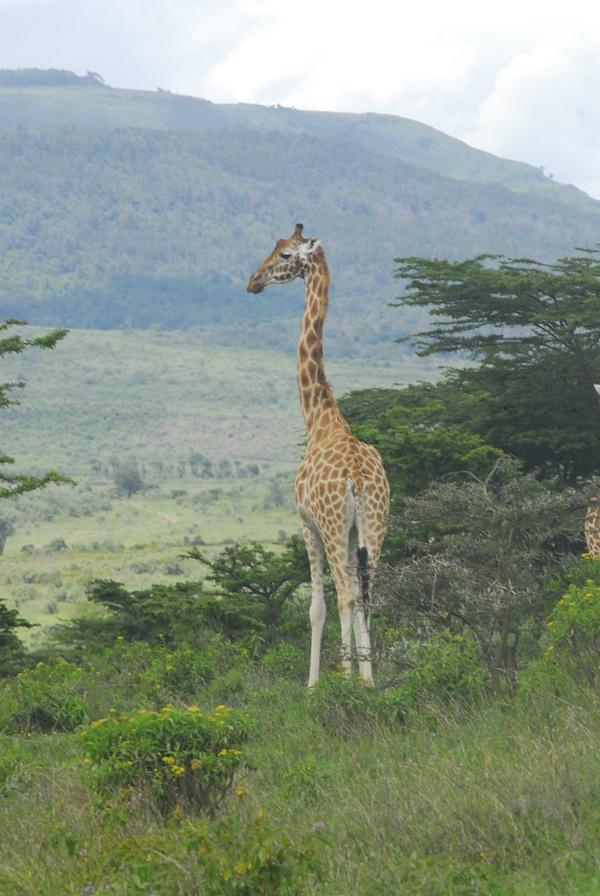 Giraf i Kenya